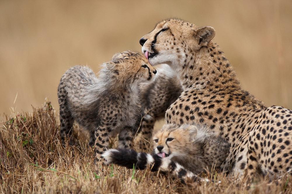 Africa, Kenya, Masai Mara Game Reserve,  Adult female Cheetah (Acinonyx jubatas) grooming with young cubs during rain storm in tall grass
