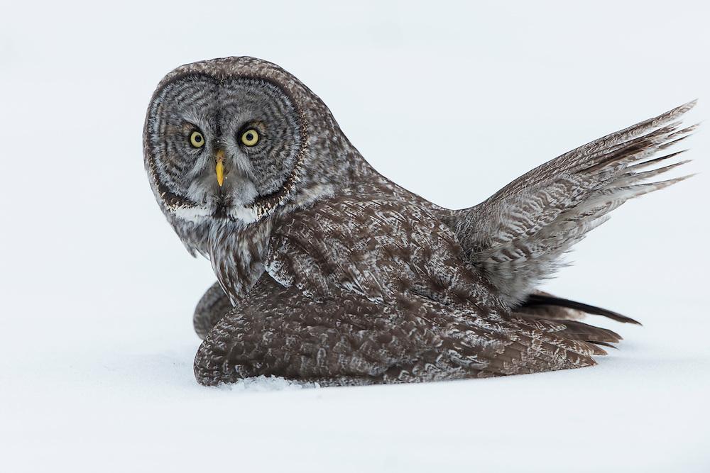 Great Gray Owl (Strix nebulosa) in Winter, Missoula, Montana