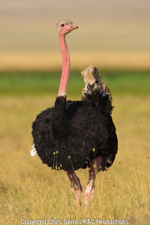 Male Ostrich (Struthio camelus) standing on the savanna in breeding plumage, Ngorongoro Conservation Area, Tanzania, Africa; largest living bird; flightless bird; ratite; social; sexual dimorphism; dry season