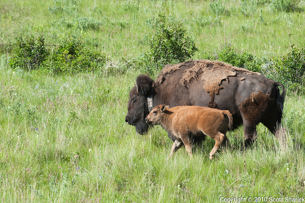 A mother buffalo and calf walk through the National Bison Range Wildlife Refuge in Montana. Missoula Photographer, Missoula Photographers, Montana Pictures, Montana Photos, Photos of Montana