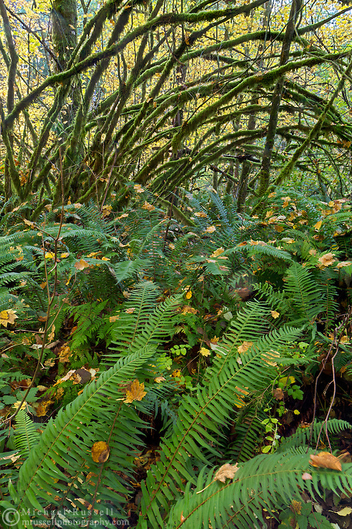 Agroup of Sword Ferns (Polystichum munitum) grow beneath a grove of Vine Maples (Acer circinatum) at Campbell Valley Park in Langley, British Columbia, Canada