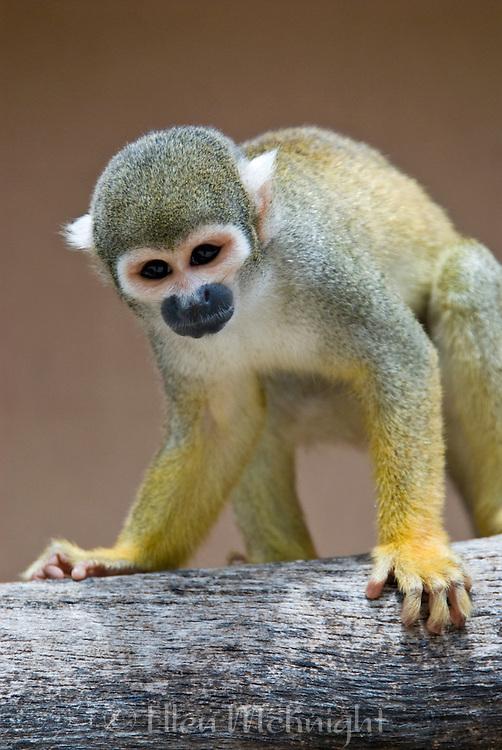 Portrait of a Common Squirrel Monkey (Saimiri sciureus) which is native to South America