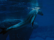 nature photography, sea lion breaching water surface