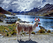 Colored tassels on a friendly llama mark ownership as it grazes on communally managed land at Lake Surasaca (14,435 feet elevation), Cordillera Raura, Peru, at the end of our Huayhuash trek.