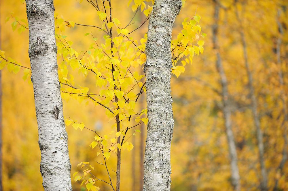 Birch tree, Betula L in Oulanka, Finland.