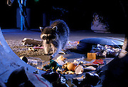 Raccoons (Procyon lotor) raiding an urban garbage can in Portland, Oregon.