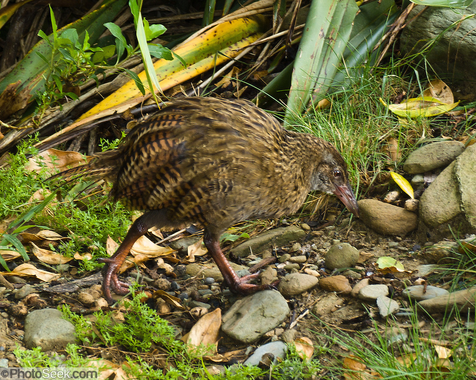 We found this native weka or woodhen (Gallirallus australis) at Ship Cove on the Queen Charlotte Track, South Island, New Zealand. The weka, a flightless bird species of the rail family, is endemic to New Zealand, where four subspecies are recognized. Weka are sturdy brown birds, about the size of a chicken. As omnivores, they feed mainly on invertebrates and fruit. Weka usually lay eggs between August and January; both sexes help to incubate.