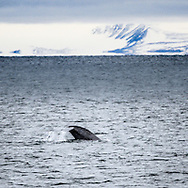 Blue Whale Balaenoptera Musculus<br /> Cleaning the shores of Svalbards trip<br /> Linking Tourism &amp; Conservation (LT&amp;C)<br /> Day02 29/08/2015<br /> Svalbard Islands Aug. 27 -Sept.6th  2015 <br /> Photo G.Scala/Deepbluemedia