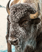 American Bison (Buffalo) in winter Habitat