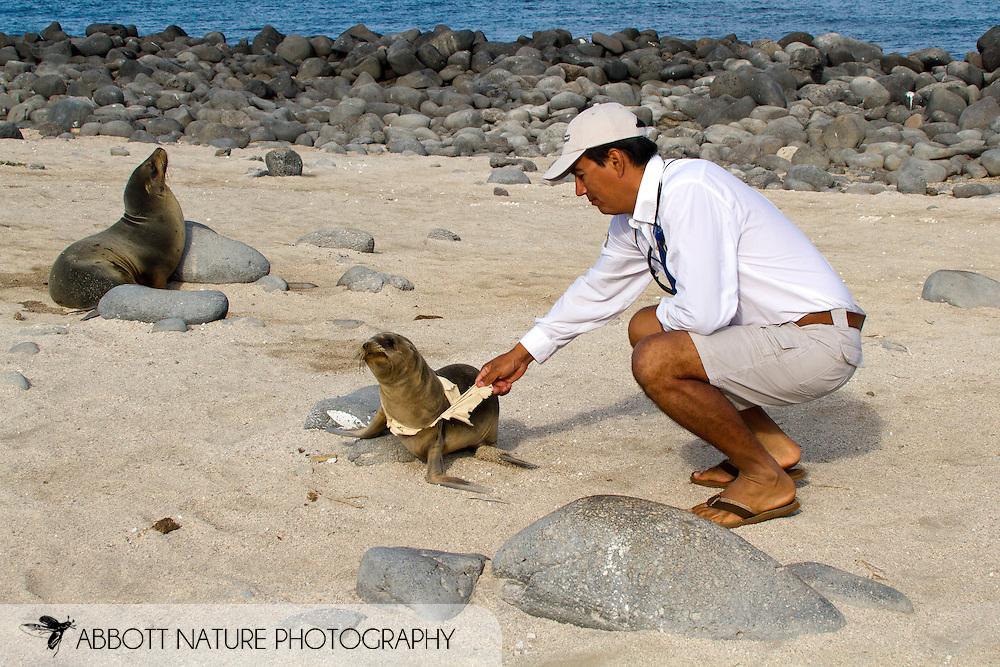 Galapagos guide (Charly) removing t-shirt that was wrapped around Galapagos Sea Lion (Zalophus californianus wollebaeki or Zalophus wollebaeki) pup's neck<br /> ECUADOR: Galapagos Islands<br /> North Seymour Island (Isla Seymour Norte)<br /> 27-Aug-2010<br /> J.C. Abbott &amp; K.K. Abbott