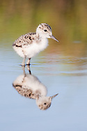 A black-necked stilt chick is reflected in shallow water, Baylands, Palo Alto, California