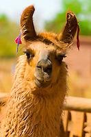 Llama, Oasis of Coyo, Atacama Desert, Chile