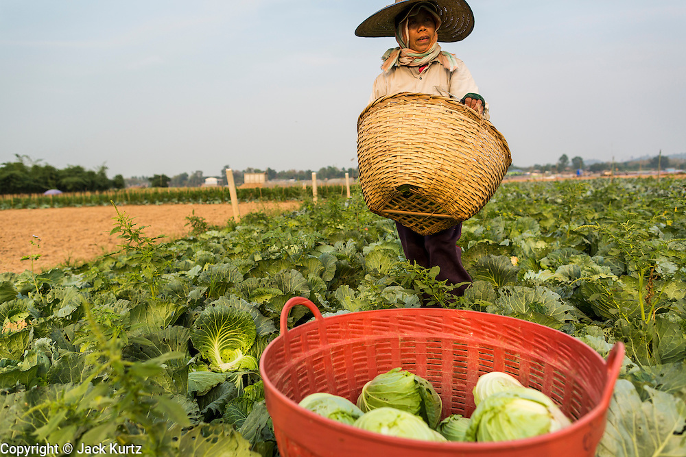 22 APRIL 2014 - CHIANG SAEN, CHIANG RAI, THAILAND: A farmer harvests cabbages on her farm in the Mekong River flood plain in Chiang Saen, Thailand. The farmer's land floods every year during the rainy season. Chiang Rai province in northern Thailand is facing a drought this year. The 2014 drought has been brought on by lower than normal dry season rains. At the same time, closing dams in Yunnan province of China has caused the level of the Mekong River to drop suddenly exposing rocks and sandbars in the normally navigable Mekong River. Changes in the Mekong's levels means commercial shipping can't progress past Chiang Saen. Dozens of ships are tied up in the port area along the city's waterfront.           PHOTO BY JACK KURTZ