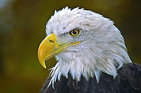 Bald Eagle portrait (Haliaeetus leucocephalus).