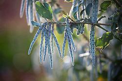 Garrya elliptica - Silk tassel bush