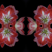 Photographic series of digital computer art from an image of Amaryllis flowering bulbs.<br /> <br /> Two layers were used, first one mirrored and flipped to second one, to enhance, alter, manipulate the image, creating an abstract surrealistic mirrored symmetry.<br /> <br /> Amaryllis  is the only genus in the subtribe Amaryllidinae. It is a small genus of flowering bulbs, with two species. The better known of the two, Amaryllis belladonna.