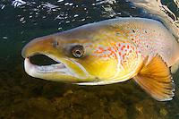 Atlantic salmon, Salmo salar<br /> River Orkla, Norway