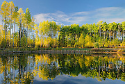 Aspens reflected in pond in autumn<br /> Fox Creek<br /> Alberta<br /> Canada