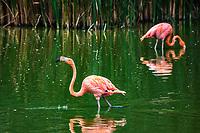 Flamand rose: Greater flamingo (Phoenicopterus roseus). Considere comme l'un des plus importants parcs ornithologiques en Europe, le Parc des Oiseaux presente une collection d'oiseaux exceptionnelle de plus de 3000 individus, representant pres de 300 especes originaires de tous les continents.