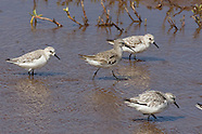 Curlew Sandpiper photos