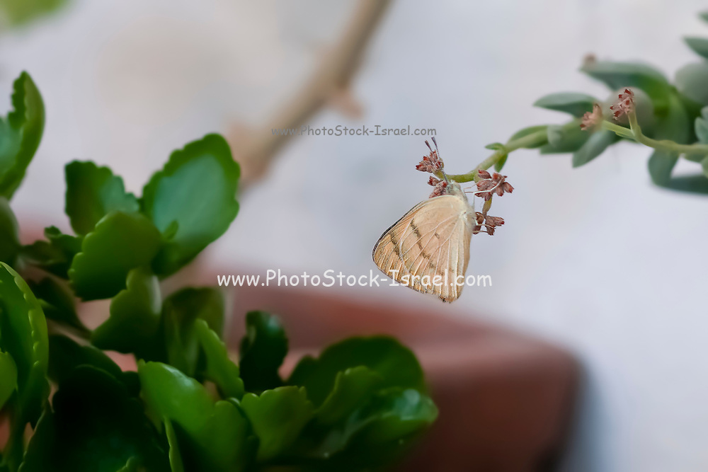 Female Desert Bath White butterfly (Pontia glauconome) resting on a succulent plant. Photographed in Tel Aviv, Israel in September