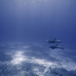 A serene moment for a pair of bottlenose dolphins in Hawaii.