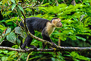 White-faced Capuchin (Cebus capucinus) on a branch sticking its tongue out