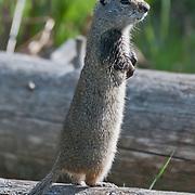 Uinta ground squirrel (Urocitellus armatus) in Yellowstone National Park, Wyoming.  Photo by William Byrne Drumm.