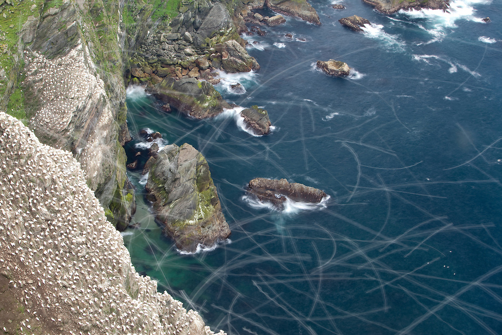 Gannet colony at Hermaness NNR, Shetland, Scotland.