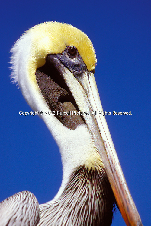 A wonderful bird is the pelican..His bill can hold more than his belly can!