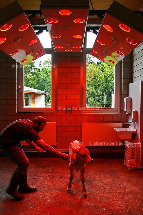 "Switzerland, Uzwil, Health Balance clinic for animals....A calf resting and drying out under red lamps, after an aquatraining..session... The goldfish swims lazily between the fronds of fake seaweed, under the attentive gaze of the medical staff. ?When he came here he was moving all wrong. He swam crooked, he was almost upside-down,? explains Marisa Polanec, obviously enthusiastic at the result. For it appeared that the littlest in-patient at Health Balance, the Swiss clinic for animals, had been suffering from electrosmog poisoning. ..An unusual complaint, yes, but here, in the midst of the clinic?s futuristic architecture and the green hills of San Gallo canton, the concept of normality is done away with even before arriving at a diagnosis. That?s because, to identify the cause of the goldfish?s suffering, Urs Buehler ?kinesiologist and the centre?s founder, as well as the owner of an industrial colossus in the region ?simply asked it, by using his ever-present dowsing rod. .. The goldfish swims lazily between the fronds of fake seaweed, under the attentive gaze of the medical staff. ?When he came here he was moving all wrong. He swam crooked, he was almost upside-down,? explains Marisa Polanec, obviously enthusiastic at the result. For it appeared that the littlest in-patient at Health Balance, the Swiss clinic for animals, had been suffering from electrosmog poisoning. ..An unusual complaint, yes, but here, in the midst of the clinic?s futuristic architecture and the green hills of San Gallo canton, the concept of normality is done away with even before arriving at a diagnosis. That?s because, to identify the cause of the goldfish?s suffering, Urs Buehler ?kinesiologist and the centre?s founder, as well as the owner of an industrial colossus in the region ?simply asked it, by using his ever-present dowsing rod. ....Il pesciolino rosso nuota flessuoso tra le alghe finte, sotto lo sguardo attento di un ristretto staff medico. ""Quando è arrivato qui si muoveva in m"