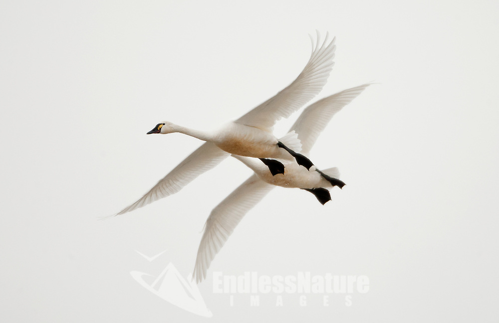 Late Febuary just after a snowstorm Tundra Swans are restless and fly from pond to pond in the marsh looking to rest.