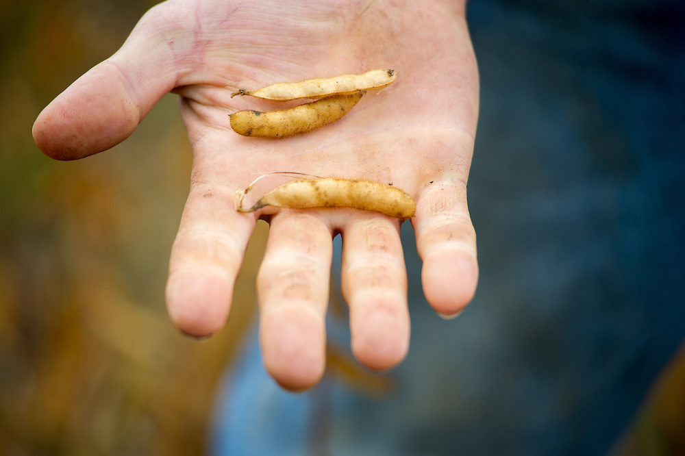 Close-up of soybeans picked from soybean field, on farmer's hand in Millerstown, Pennsylvania, USA
