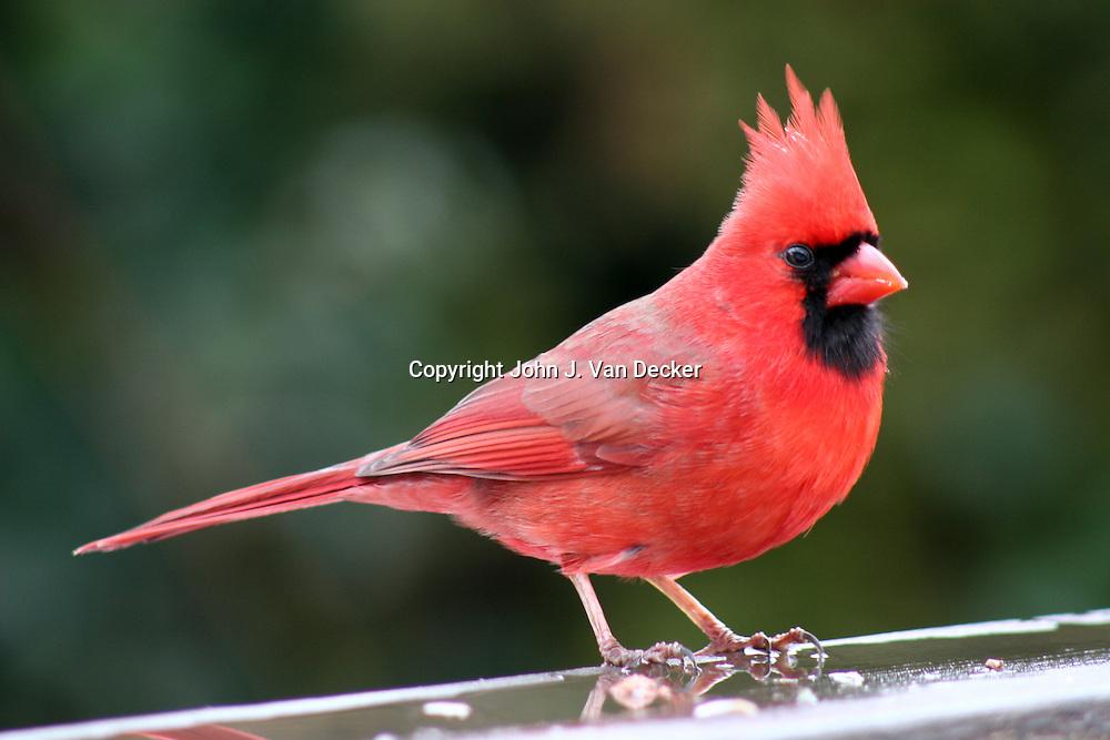 Northern Cardinal, Cardinalis cardinalis, male, standing on wet rail