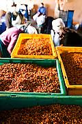 Processing Sea Buckthorn berries.