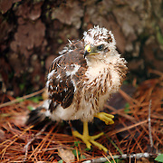 A young Red-Tailed Hawk is seen through vegetation while standing on the ground near a pine tree after falling out of its nest.