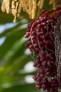 Date palm tree, Waipio Valley, Big Island of Hawaii