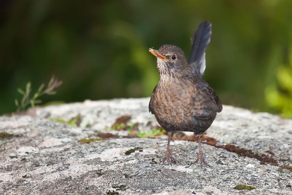Blackbird, Stewart Island, New Zealand