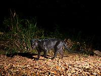 Indochinese leopard (Panthera pardus delacouri). Kaeng Krachan National Park, Thailand.