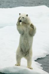 Polar bear (Ursus maritimus) posing for the photographer in Hinlopen, Svalbard