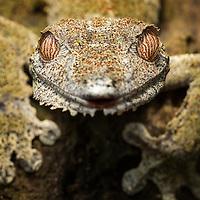 Madagascar, Close-up of captive Leaf Gecko (Uroplatus sikorae) at reserve near Andasibe-Mantadia National Park
