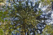 Mixed autumn woodland canopy, Stoke Wood, Oxfordshire.