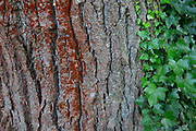 Ivy grows up the trunk of a Douglas fir (Pseudotsuga menziesii) tree in a forested area of Bothell, Washington.