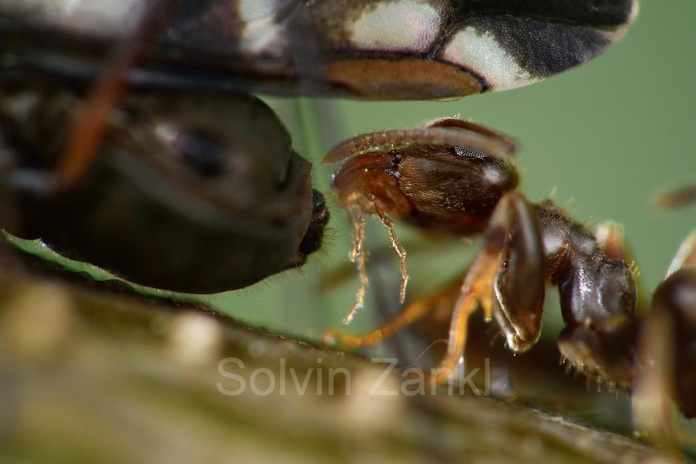 Eine Ameise (Lasius spec.) klopft mit ihren Antennen auf den Hinterkörper der Blattlaus und fordert sie damit auf, einen Tropfen Baumsaft auszuscheiden.