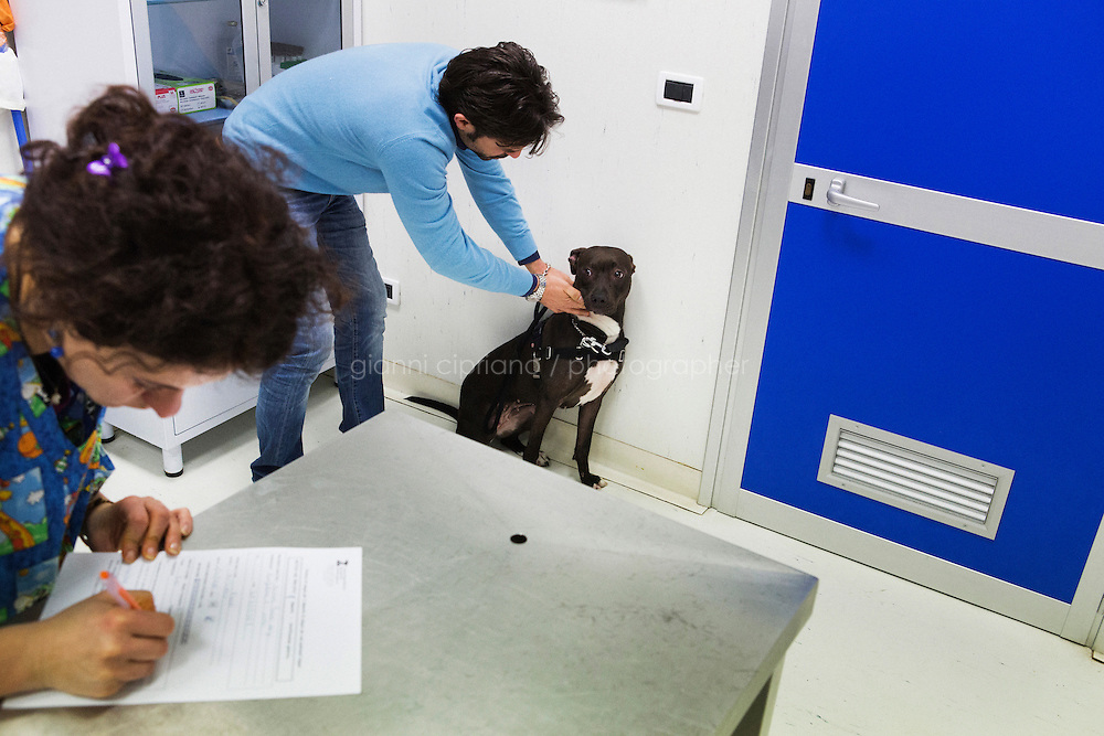 NAPLES, ITALY - 22 January 2014: Fiona, a 2-years-old pitbull, is reassured by its owner Luigi De Luca after a veterinart extracted a sample of her blood, at the Veterinary Hospital  in Naples, Italy, on January 22nd 2014.<br /> <br /> The city of Naples started a pilot project in the district of Vomero-Arenella aimed at busting irresponsible dog owners from leaving their pets' feces in the street. Blood samples are being collected from the approximately 8,000 dogs living in the neighborhood of 110,00 inhabitants. (the city of Naples counts a total of 960,000 people and 60,000 dogs). In a few months city street cleaners  will locate the excrements, call the police who will send a sample to a laboratory where DNA will be extracted and compared with the results of blood samples.