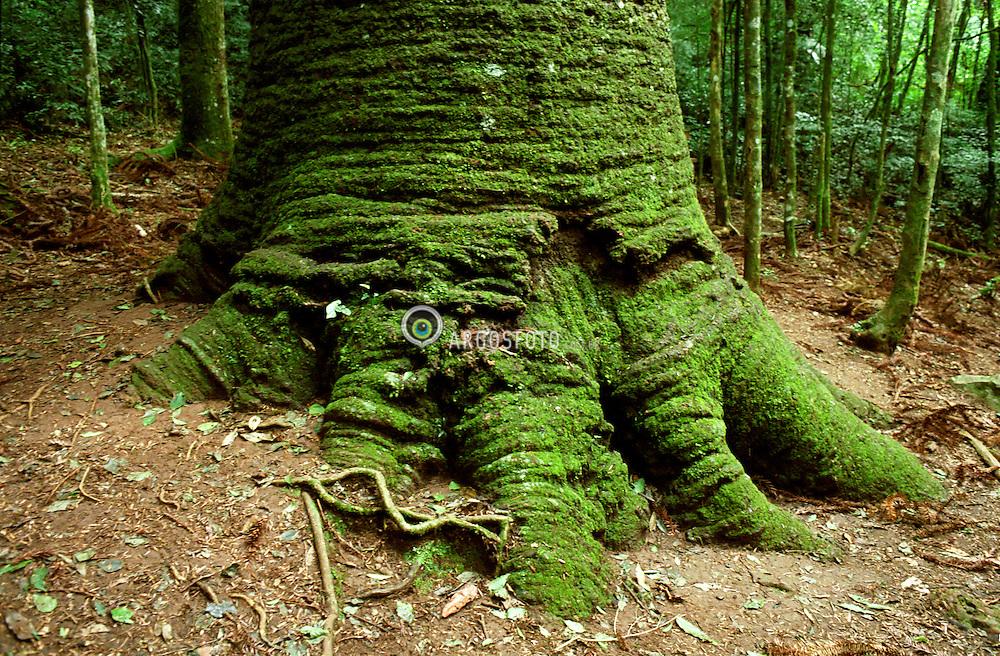 Base do tronco e raizes do Pinheiro multisecular de Nova Petropolis RS 2002 © Paulo Backes / Base of the trunk and roots of a multi centenary Pine in Nova Petropolis, RS, Brasil 2002 © Paul Backes