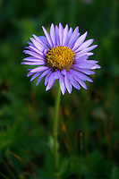 A purple Aster wildflower in Albion Basin located in Little Cottonwood Canyon near Salt Lake City, Utah.