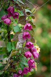 Rhodochiton atrosanguineus 'Purple Bells'. Purple bell vine