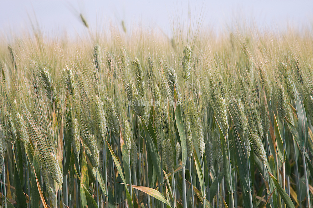 close up of wheat stalks France Languedoc