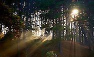 Sun through the pines Mornington Penisula.<br /> <br /> Larger JPEG + TIFF images available by contacting use through our contact page at :..www.photography4business.com